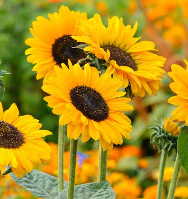Flower Power: Sunflower Kits are BACK AGAIN